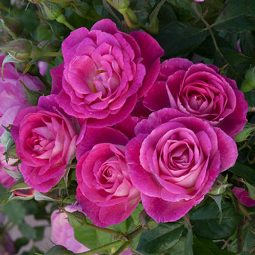 EASY TO PLEASE ROSE TREE