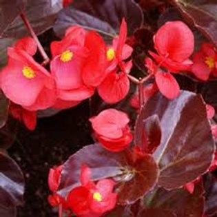 Begonia Bronze Big Leaf Red 6 pack