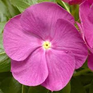 Vinca Cora Orchid 4.5in  Bench Pot