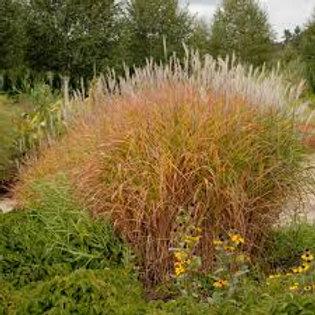 PERENNIAL GRASS MISCANTHUS PURPURASCENS