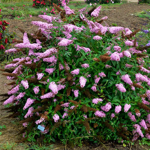 BUDDLEIA PRINCESS PINK  BUTTERFLY BUSH GALLON POT