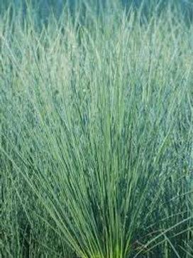 ANNUAL GRASS JUNCUS BLUE ARROWS