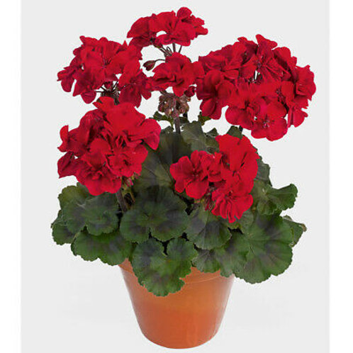 "AAFC FUNDRAISER - 6.5"" Jumbo RED GERANIUMS"