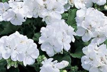 Americana White Geranium 6 pack