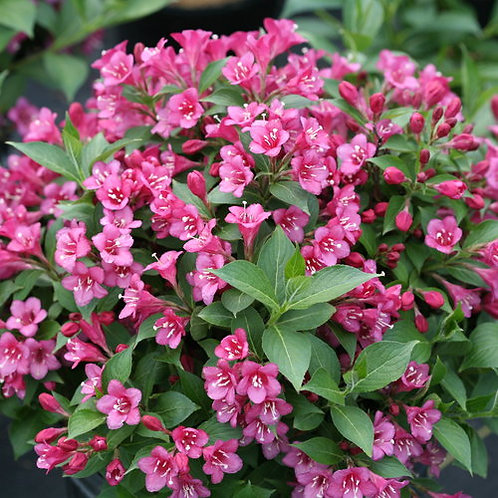 WEIGELA SNIPPET DARK PINK 1GAL BUSH