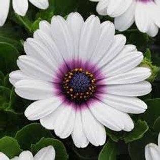 Osteospermum Daisy Purple Eye 4.5in Bench Pot
