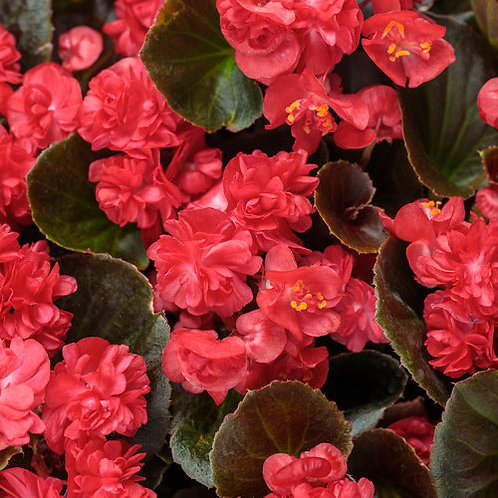 BEGONIA DOUBLE UP RED HANGING BASKET