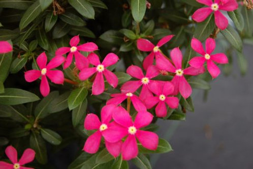 CATHARANTHUS CORAL REEF 4.5INCH BENCH POT