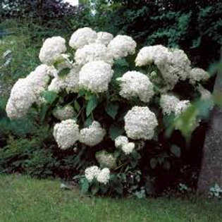 HYDRANGEA INCREDIBALL 1G BUSH