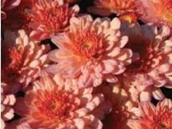 Garden Mum Chels Coral 4.5in Bench pot