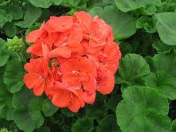 Geranium Rocky Mountain Orange 4.5in Bench Pot