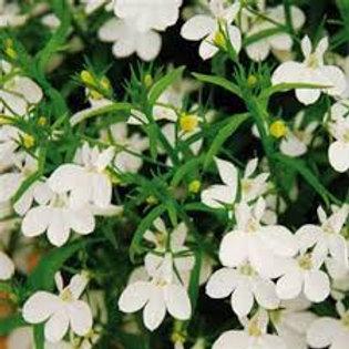 LOBELIA MAGADI WHITE