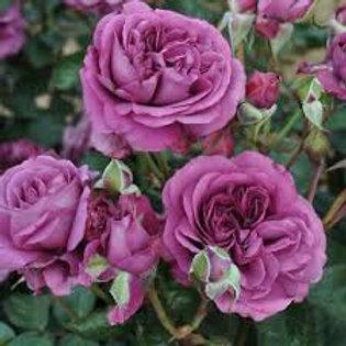 PLUM PERFECT ROSE