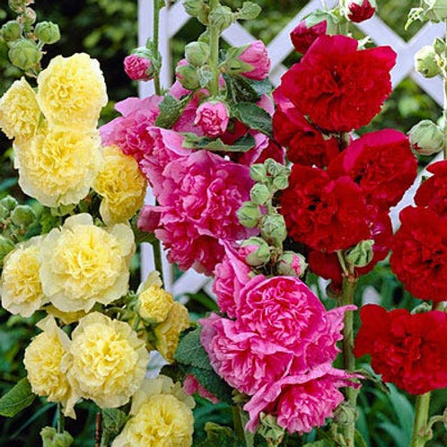 ALCEA CHATER'S DOUBLE MIX HOLLYHOCK