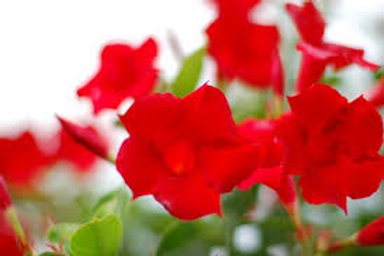 MANDEVILLA MITEBUSTER RED