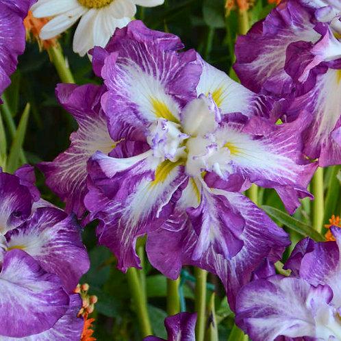 Iris Lion King-Japanese Iris GALLON POT