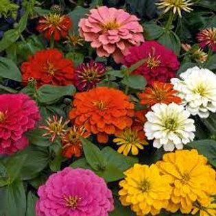 Zinnia Magellan Mix Flat 32 plants