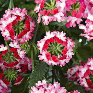 VERBENA UPRIGHT TWISTER RED  4.5IN BENCH POT