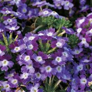 Verbena Twister Purple Flat 48 plants