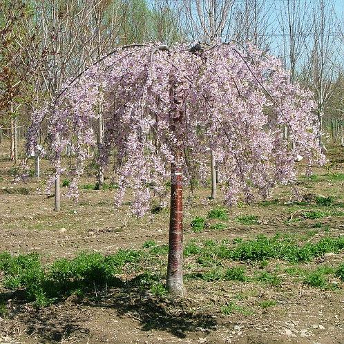 PINKSHOWERS WEEPING CHERRY TREE 7GAL