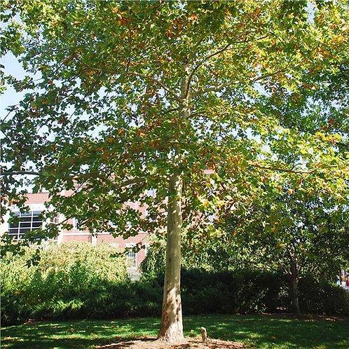 LONDON PLANE TREE 5GAL
