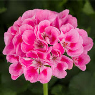 GERANIUM AM LIGHT PINK SPLASH