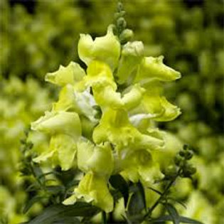 Snapdragon Snaptini Yellow Flat 32 plants