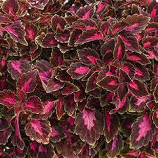 COLEUS COLORBLAZE VELVETEEN 4.5IN BENCH POT