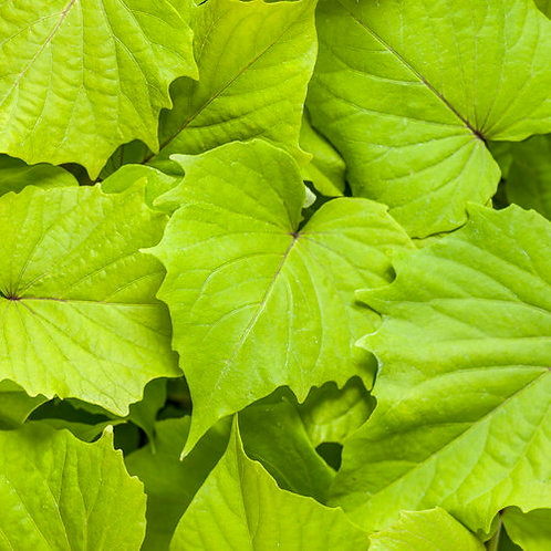 IPOMEA SWEET POTATO  GREEN ENVY 4.5IN BENCH POT