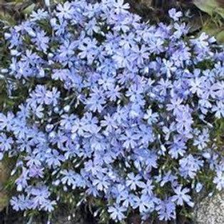 PHLOX EMERALD BLUE CREEPNG