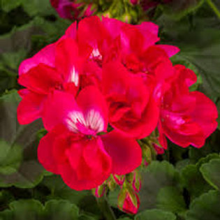 Geranium Calliope Hot Rose 4.5inch Bench Pot