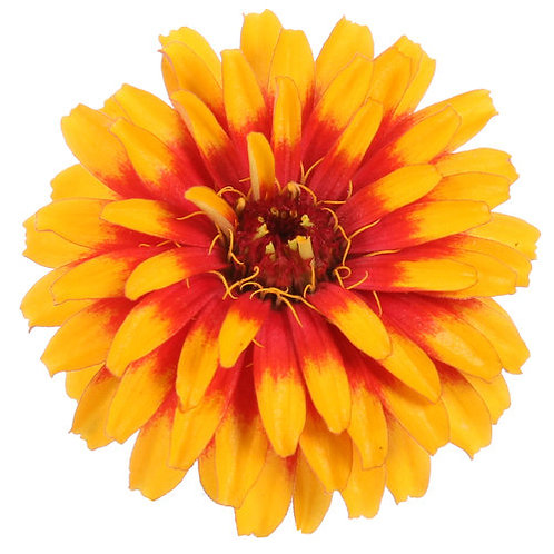 ZINNIA SWEET TOOTH CANSY CORN 5INCH POT