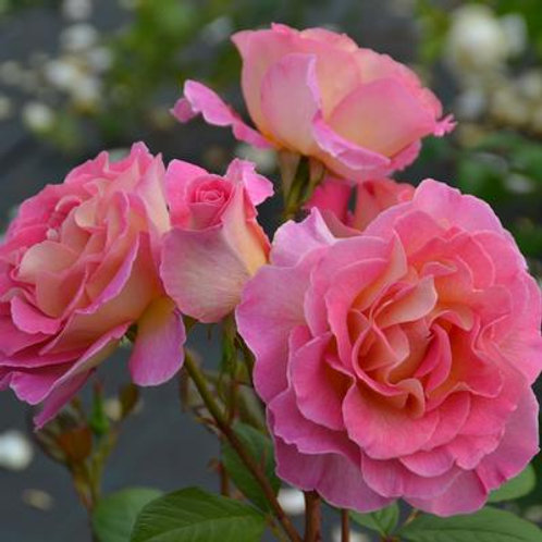 Julie Andrews Rose