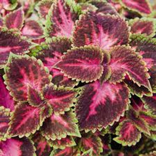 COLEUS FIFTH AVE 4.5IN BENCH POT
