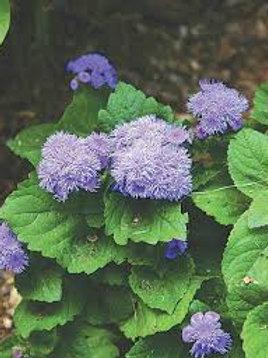 AGERATUM HIGH TIDE BLUE FLAT 48 PLANTS