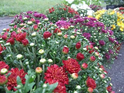 garden mum.jpeg