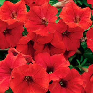 PETUNIA SURFINA DEEP RED