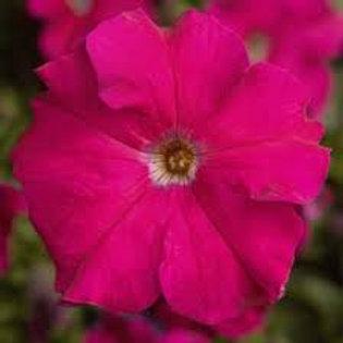 Petunia Tritunia Rose Flat 32 Plants