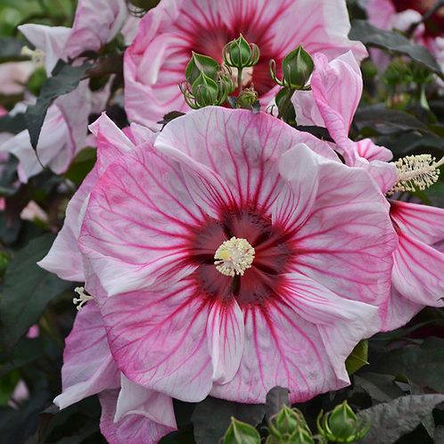 Hibiscus Cherry Choco Latter- rose mallow