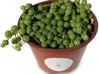 STRING OF PEARLS 5INCH POT