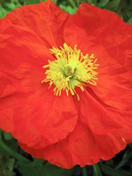 PAPAVER CHAMPAGNE BUBBLES ORANGE POPPY