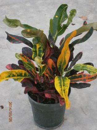 Croton 6INCH POT