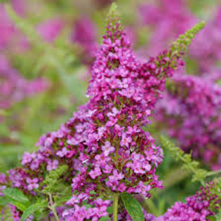 BUDDLEIA LO AND BEHOLD RUBY CHIP 1G BUTTERFLY BUSH
