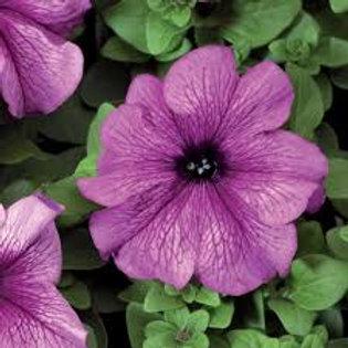 Petunia Tritunia Plum Flat 32 Plants
