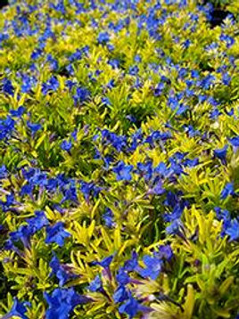 LITHODORA GOLD N SAPPHIRES