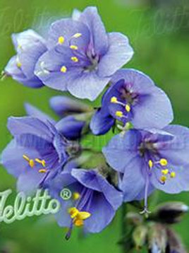 POLEMONIUM BLUE PEARL JACOB'S LADDER