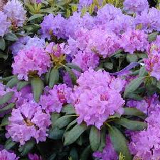 RHODODENDRON BOURSAULT 3 GAL