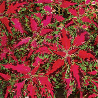 COLEUS PINK POODLE 4.5IN BENCH POT
