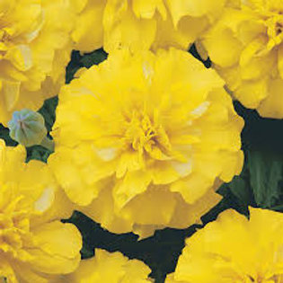 Marigold Bonanza Yellow Flat 48 plants