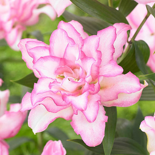 Oriental Lily Anouska